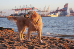 golden retriever am elbstrand